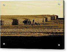 Amish Cornfield In Shadows Acrylic Print