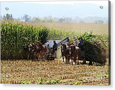 Amish Men Harvesting Corn Acrylic Print