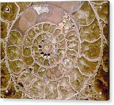 Acrylic Print featuring the photograph Ammonite by Gigi Ebert