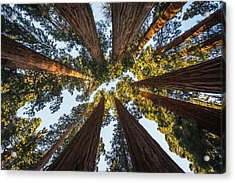 Amongst The Giant Sequoias Acrylic Print
