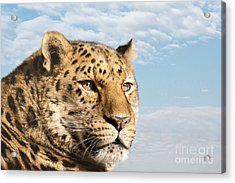 Amur Leopard Against Blue Sky Acrylic Print