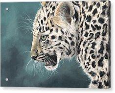 Amur Leopard Cub Acrylic Print by Clive Meredith