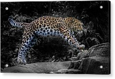 Amur Leopard On The Hunt Acrylic Print by Martin Newman
