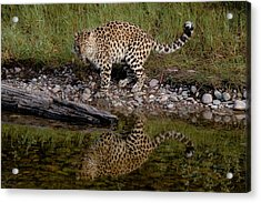 Amur Leopard Reflection Acrylic Print