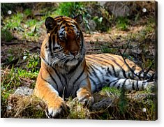 Acrylic Print featuring the mixed media Amur Tiger 1 by Angelina Vick