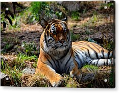 Acrylic Print featuring the mixed media Amur Tiger 10 by Angelina Vick