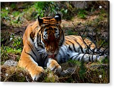 Acrylic Print featuring the mixed media Amur Tiger 2 by Angelina Vick
