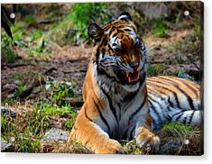 Acrylic Print featuring the mixed media Amur Tiger 3 by Angelina Vick