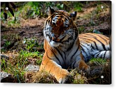 Acrylic Print featuring the mixed media Amur Tiger 4 by Angelina Vick