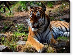 Acrylic Print featuring the mixed media Amur Tiger 5 by Angelina Vick