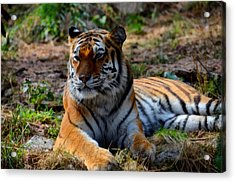 Acrylic Print featuring the mixed media Amur Tiger 8 by Angelina Vick