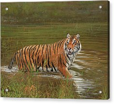 Amur Tiger Cooling Off Acrylic Print