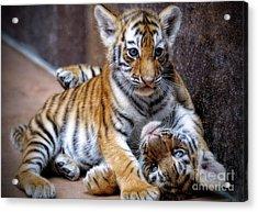 Amur Tiger Cubs Acrylic Print