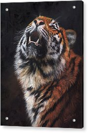 Amur Tiger Looking Up Acrylic Print