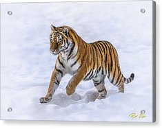 Acrylic Print featuring the photograph Amur Tiger Running In Snow by Rikk Flohr