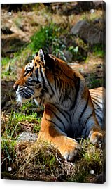 Acrylic Print featuring the mixed media Amur Tiger 9 by Angelina Vick