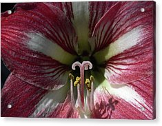 Acrylic Print featuring the photograph Amaryllis Flower Close-up by Sally Weigand