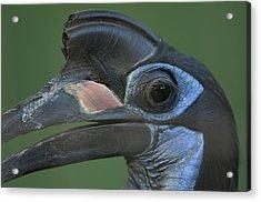 An Abyssinian Ground Hornbill Acrylic Print by Joel Sartore