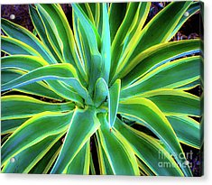Acrylic Print featuring the photograph An Agave In Color  by D Davila