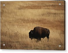 An American Bision In Golden Grassland Acrylic Print by Michael Melford