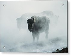 An American Bison Bull Bison Bison Acrylic Print by Michael S. Quinton