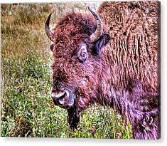 An Astonished Bison Acrylic Print