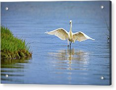 An Egret Spreads Its Wings Acrylic Print by Rick Berk