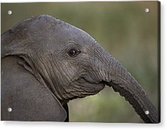 An Eight-month-old Elephant Calf Acrylic Print by Michael Nichols