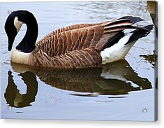 An Elegant Pose Acrylic Print by Frozen in Time Fine Art Photography