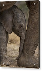 An Elephant Calf Finds Shelter Amid Acrylic Print by Michael Nichols