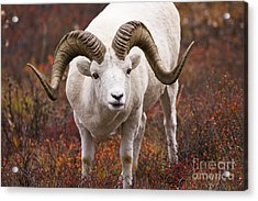 An Exceptional Ram Acrylic Print by Tim Grams