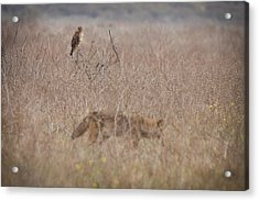 An Eye On The Competition Acrylic Print by Carl Jackson