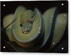 An Immature Green Tree Python Curled Acrylic Print