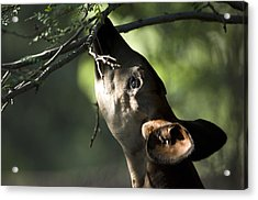An Okapi Reaches For A Little Snack Acrylic Print by Joel Sartore