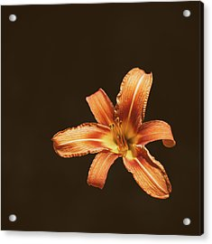 An Orange Lily Acrylic Print by Scott Norris