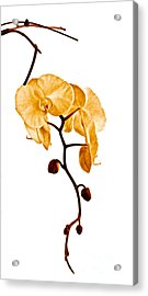 An Orchid's Perfume Acrylic Print by Gwyn Newcombe