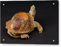 An Ornate Box Turtle With A Fiberglass Acrylic Print by Joel Sartore