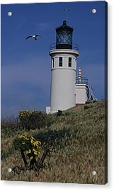 Anacapa Lighthouse And Western Gulls Acrylic Print