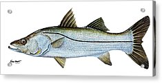Anatomical Snook Acrylic Print by Kevin Brant