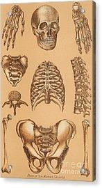 Anatomical Study Of The Human Skeleton, 1896 Acrylic Print
