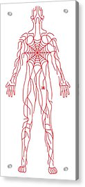Anatomy Of Human Body And Spider Web Acrylic Print