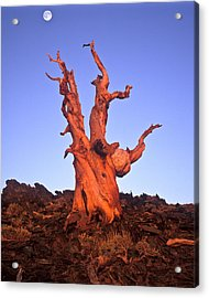 Ancient Bristlecone Pine And Moon Acrylic Print