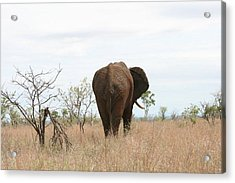 Ancient Elephant Acrylic Print by Debbie Cundy