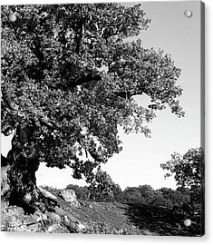 Ancient Oak, Bradgate Park Acrylic Print by John Edwards