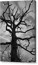 Ancient Oak Tree No. 4 Acrylic Print