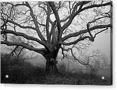 Ancient Oak Tree V - Sheep Pasture Acrylic Print