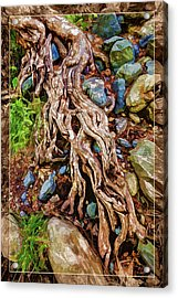 Ancient Sycamore Roots Acrylic Print by ABeautifulSky Photography
