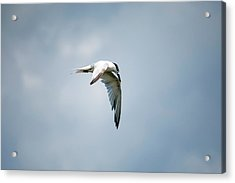 And Still The World Terns Acrylic Print