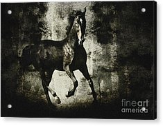 Andalusian Horse Acrylic Print