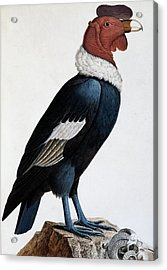 Andean Condor Acrylic Print